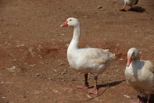 Белые утки с размытым коричневым грунтом в солнечный день.