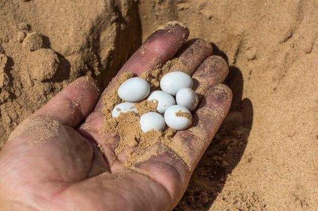Белые яйца рептилии ящерицы на ладони рабочего.