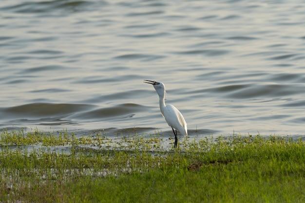 Белая цапля ест рыбу во рту на берегу реки, птица стоит на зеленой траве у реки