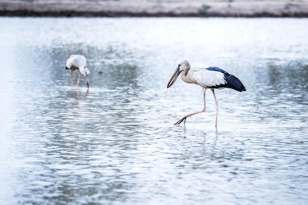 食べ物を探している白egret。
