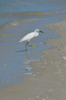 Белая цапля выходит из воды на пляж.