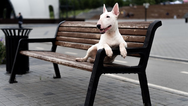 Белый английский бультерьер сидит на деревянной скамейке на набережной.