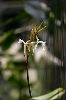 Белый цветок орхидеи эпипеннум