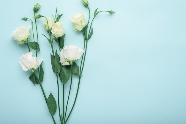 White eustoma on blue background with copy space, flower background, flat lay, top view, spring concept
