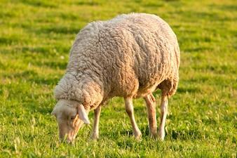 White ewe grazing in the green field