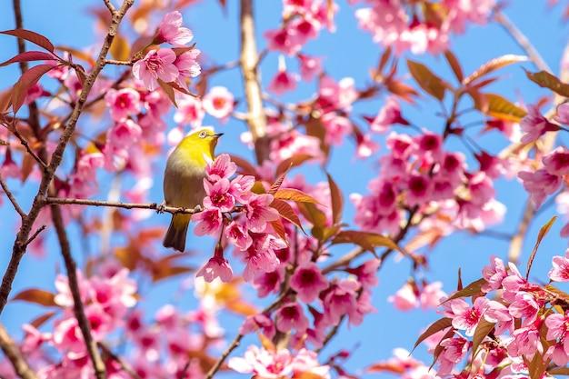 Белоглазая птица на цветущей вишне и сакуре