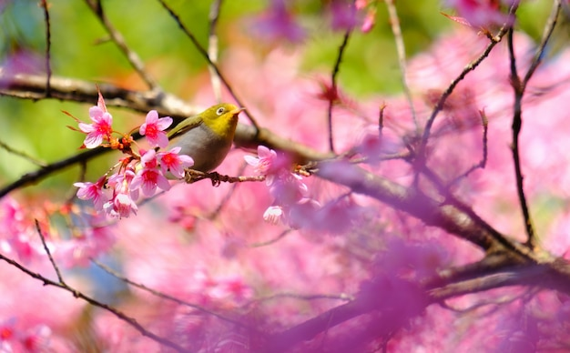 桜の木の白い目の鳥