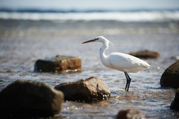 Белая цапля стоит на скалистом берегу на берегу красного моря