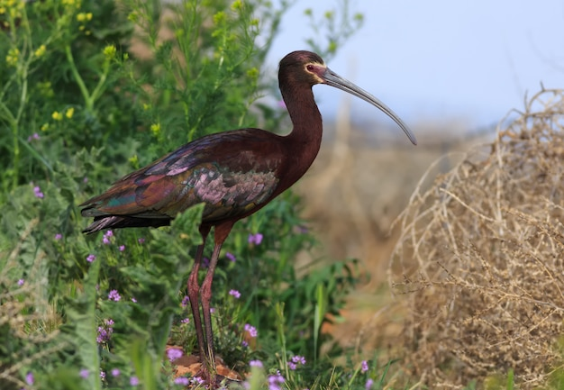 White-faced ibis in arizona