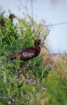 White-faced ibis vertical