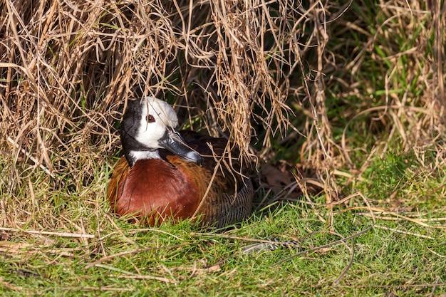 Белая свистящая утка (dendrocygna viduata) наслаждается солнцем