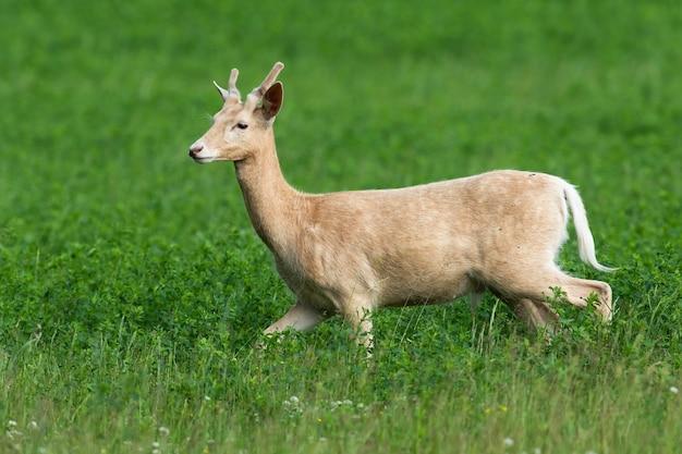 Белая лань dama dama спешит на пастбище на клеверном поле