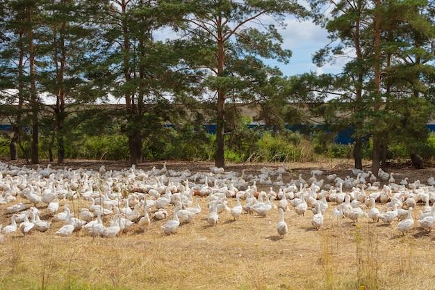 牧草地の上を歩く白い農場のガチョウ