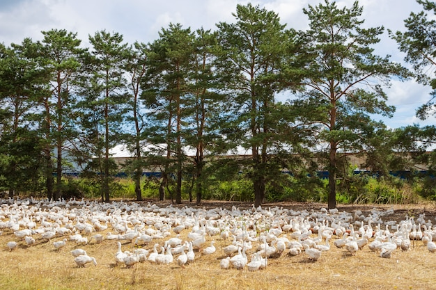 Белые гуси фермы гуляют по лугу