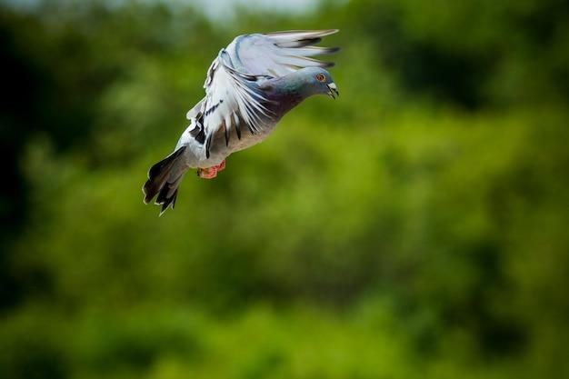澄んだ青い空を背景に飛ぶ白い羽鳩