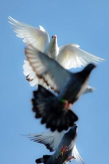 Белый перо голубь в полете стадо против ясного голубого неба