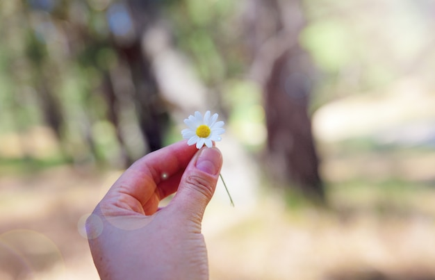 White field daisy in hand