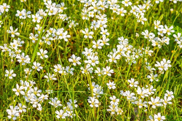White field flowers on a sunny day