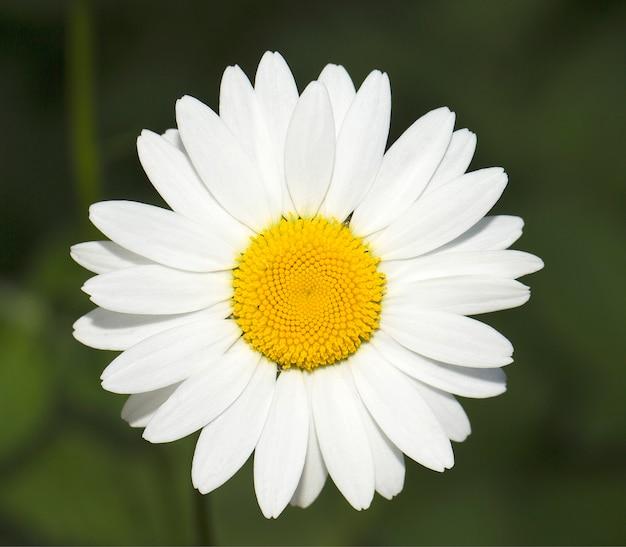 White fine camomile. close up