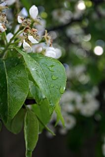 White flower after the rain, leafs