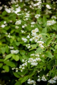 White flower of andaman satinwood, chanese box tree