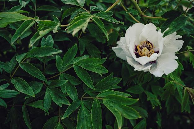 White flower in bloom on vibrant green leaves