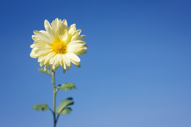 White flower on blue sky background , closeup , with space for inscription , spring flower