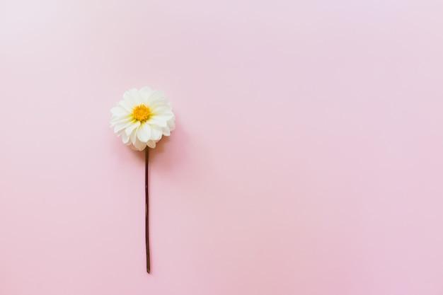 ピンクのパステルカラーの背景に白い花ダリア。最小限の花の組成。フラットレイ、上面図、コピースペース。夏、秋のコンセプト。