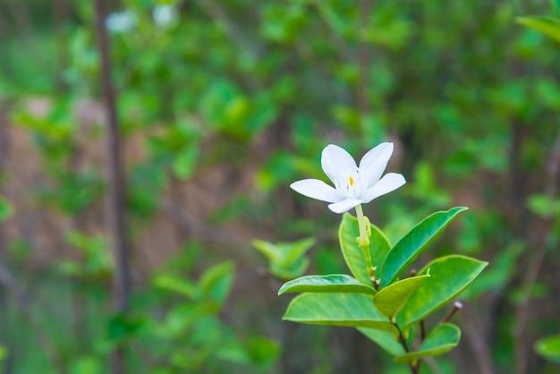 White flower in the garden of thailand. nature