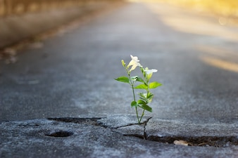 White flower growing on crack in the street