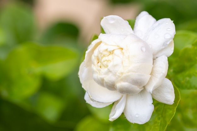 White flower, jasmine (jasminum sambac l.)