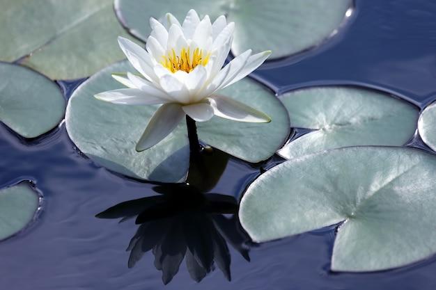 Белый цветок лотоса с отражением на воде. ботаника и растительность