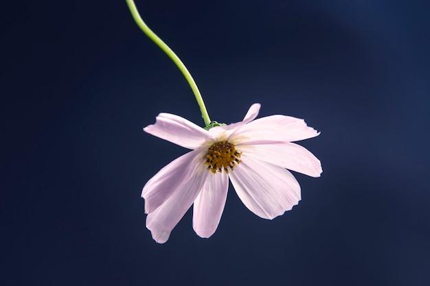 Белый цветок на синем фоне