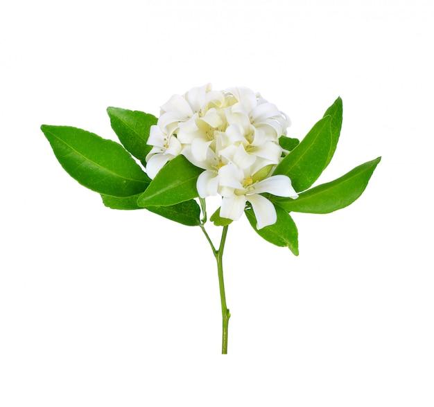 White flower, orange jessamine or china box tree, andaman satinwood