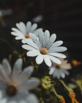 Белые лепестки цветов с каплями воды и пыльцой