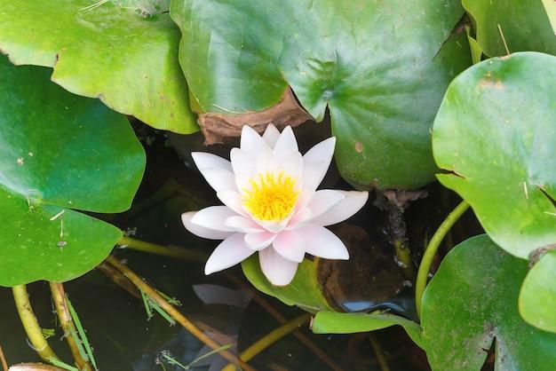 白い花-池に緑の葉を持つスイレン