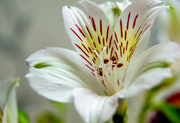 White flower / white alstroemeria flowers / lilies floral pattern for greeting card
