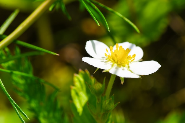 A white flower of wild strawberry blossomed in the forest