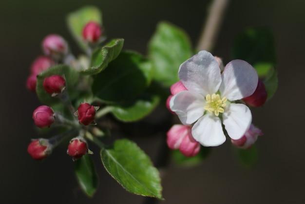 Белые цветущие яблони весной крупным планом
