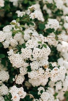 白い顕花植物のクローズアップ、春の花、咲く。春