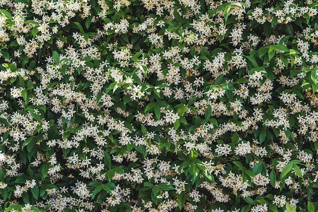 일반적으로 스타 재스민으로 알려진 trachelospermum jasminoides의 녹색 잎 사이에 흰색 꽃