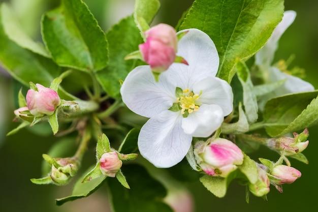 春の日の白い花とリンゴの木のピンクのつぼみ