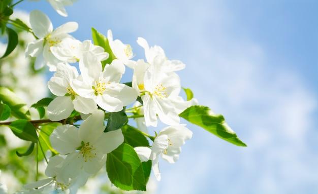 Белые цветы яблоня цветет яблоня ветки