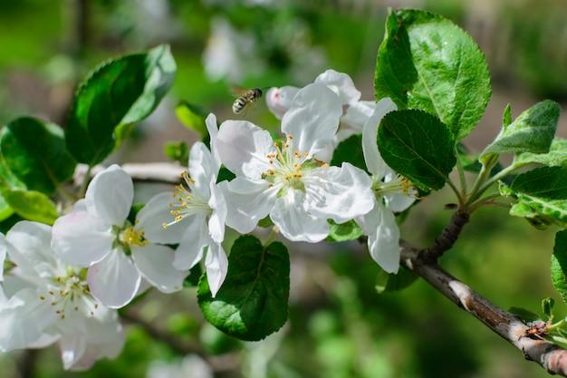 Белые цветы яблони с пчелой