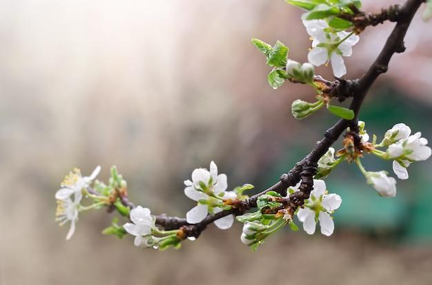 봄에 흰 꽃 살구