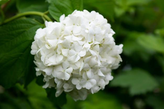 白い花のボールアジサイarborescensはぼやけた背景の夏の時間にクローズアップ