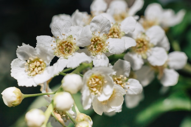 White flowers of bird cherry. macro close-up. copyspace. green foliage in the background.