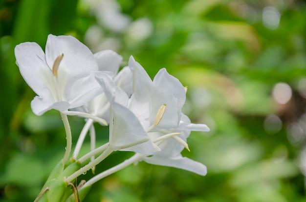 쿠바의 흰 꽃 나비 국화