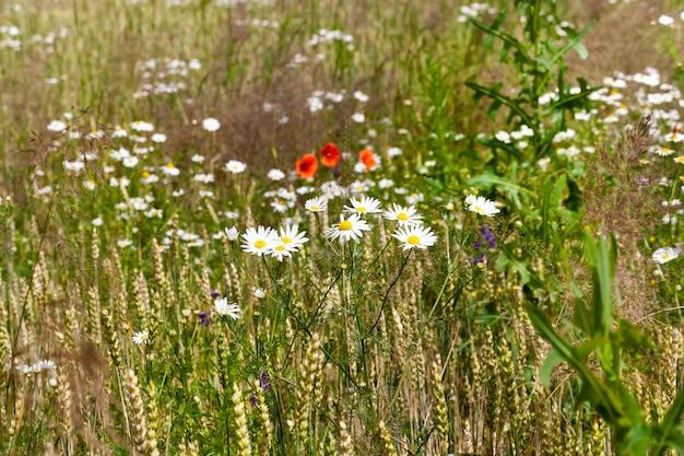 畑に咲く白い花カモミール