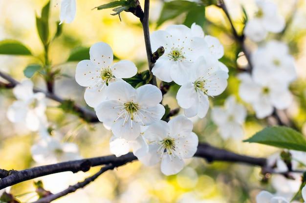 白い花桜が黄色の背景にクローズアップ
